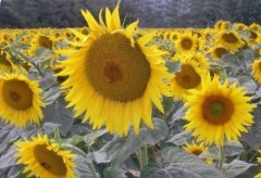 Sunflowers giving an idea of the climate