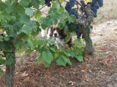 Our dog Hudson playing in the vines